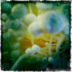 svampenes svar på hattifnatter